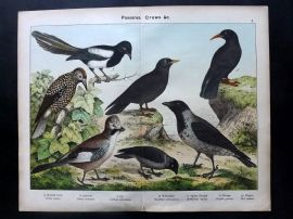 Kirby & Schubert 1889 Bird Print. Crow, Jackdaw, Jay, Nutcracker, Chough, Magpie